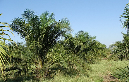 palmolie - is palmolie wel vegan?