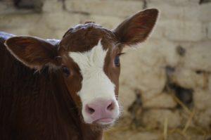kalfje - melk niet goed voor elk - leed achter melk