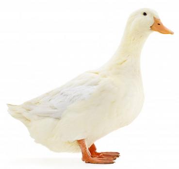 leed achter dons - dons en het leed voor de dieren - dons wat zijn de alternatieven?